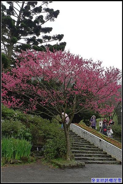 盛開的櫻花...讓照相機卡喳聲停不了.jpg