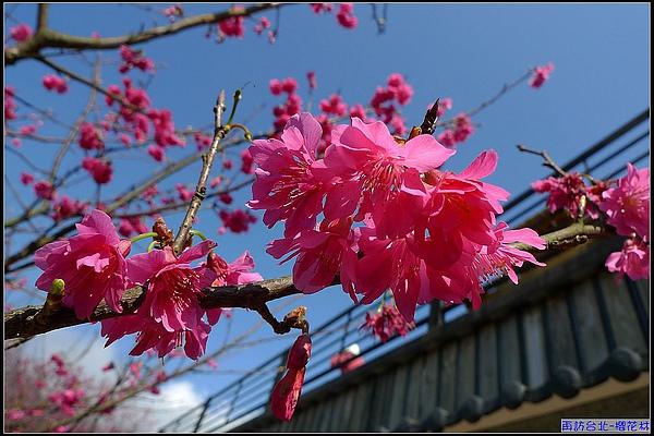 早晨9點多,愛上陽光下的櫻花。.jpg