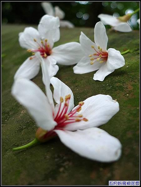 桐花潔白的花瓣,總讓人想多看幾眼.jpg