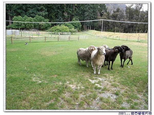 瓦爾特峰高原牧場-羊咩咩.jpg