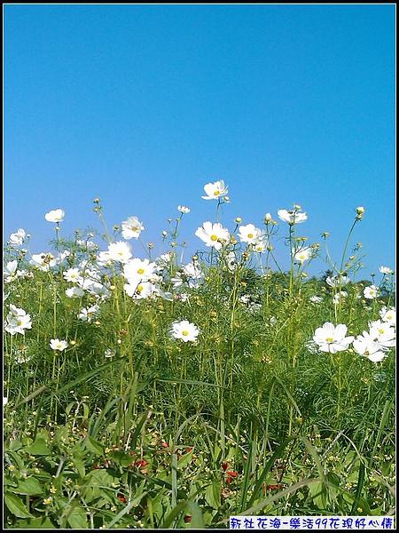 白色的波斯菊...配上藍天...美!.jpg