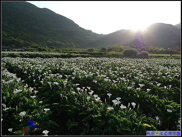 朝陽露下的海芋園真美.jpg