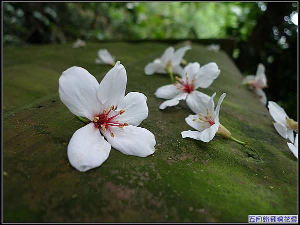 看見桐花的美.jpg