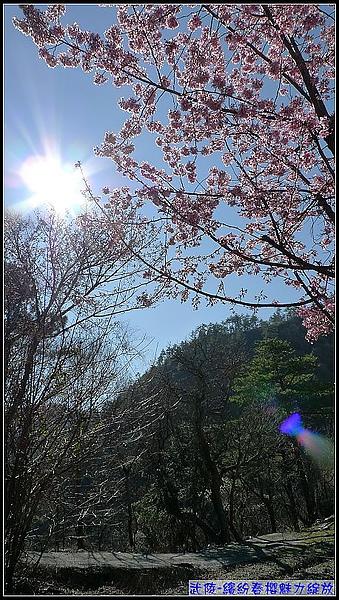 用相機隨拍發現有陽光映照的櫻花,有美!.jpg