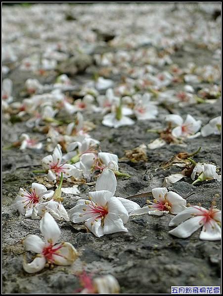 今年盛開的桐花....jpg