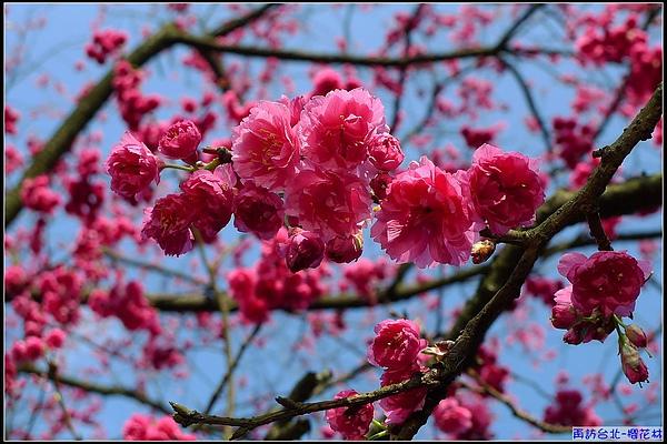 發現在陽光下的山櫻花...生氣蓬勃.jpg