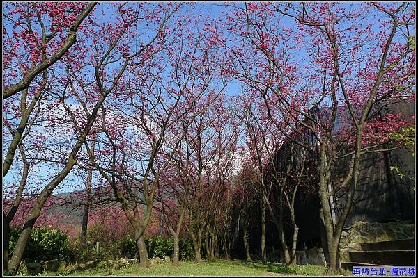 藍天白雲+山櫻花...美不勝收.jpg