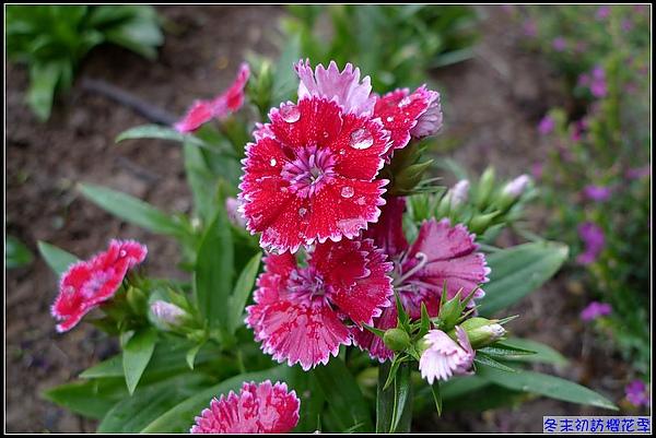 即使沒有櫻花...這樣的小花也很吸引丫曼的相機.jpg