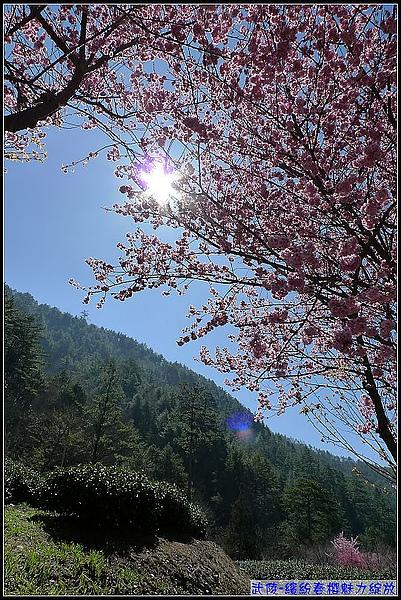 茶-櫻花美-1.jpg