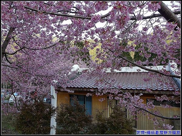 第一次看到滿山林的櫻花,感覺真是幸福!.jpg