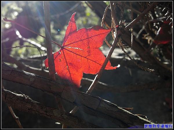 一片楓...透著紅.jpg