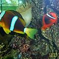 小丑魚2.jpg