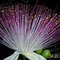 墾丁之花.jpg