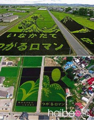 這是神奈川種的水稻.jpg