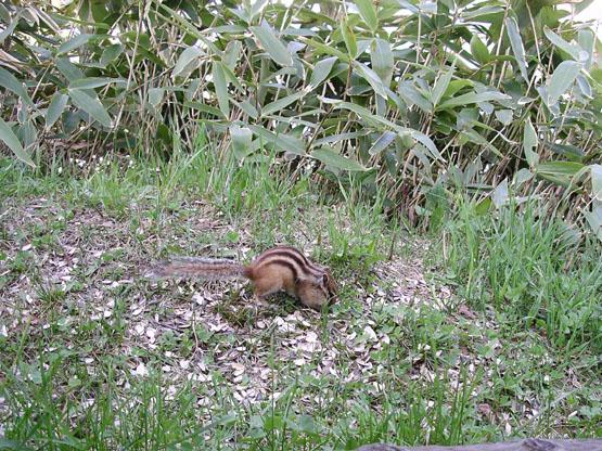 30_摩周湖旁花栗鼠覓食