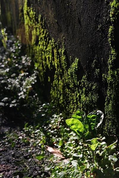 冬雨後的綠意07.jpg