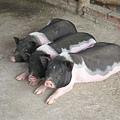 真的是三隻小豬耶