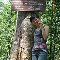 對待馬來西亞高大的樹木