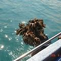 船伕拿了個大大活珊瑚上來耶