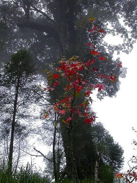 已有部分青楓的葉子開始變紅