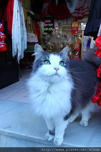 A pretty cat@Mijas