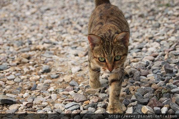 A walking cat@Russia