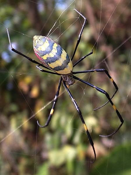 Female-nephila-clavata-dorsal-side