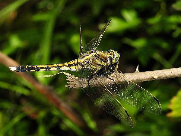 1024px-Orthetrum_albistylum_(young_female)_(1)