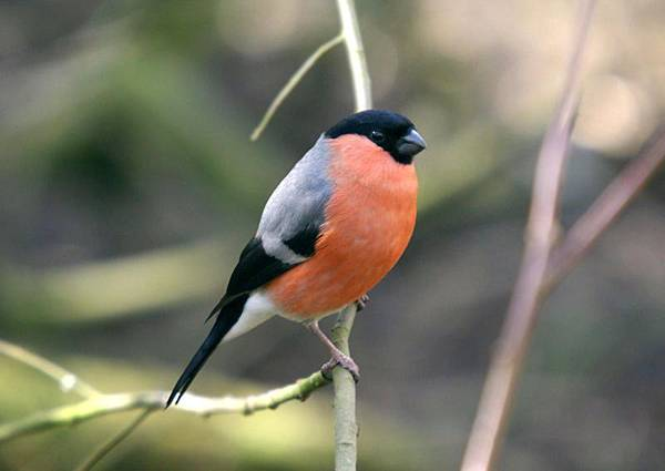 Bullfinch_at_Pennington_Flash