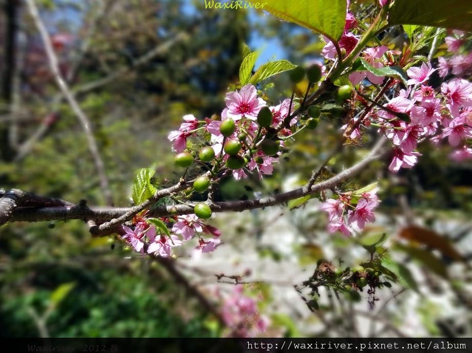 櫻花樹上的櫻果