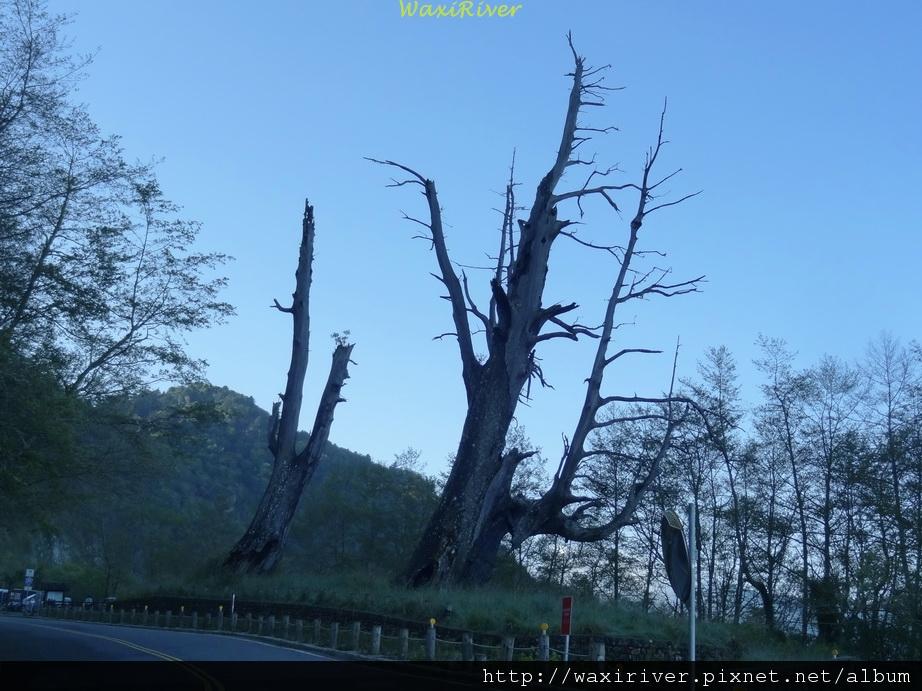 中橫 塔塔加 夫妻樹01