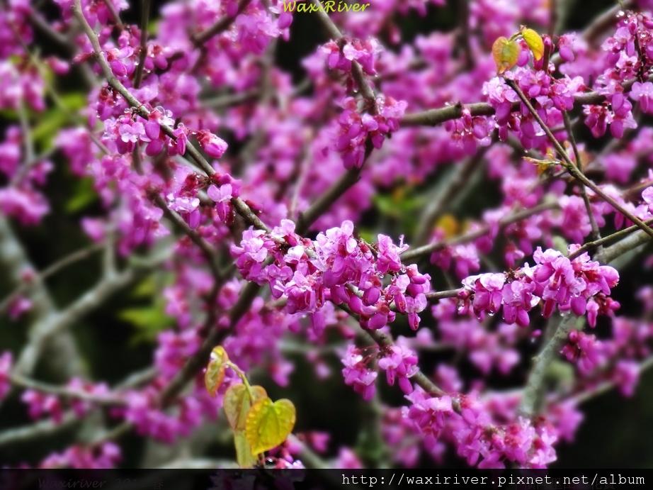 阿里山 紫荊 收費站01