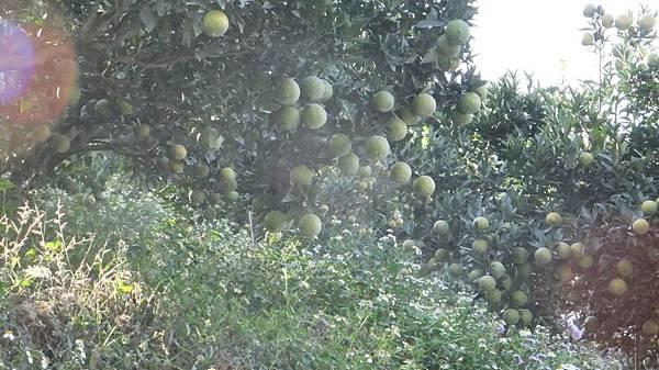 到處都是橘子 柳丁.JPG