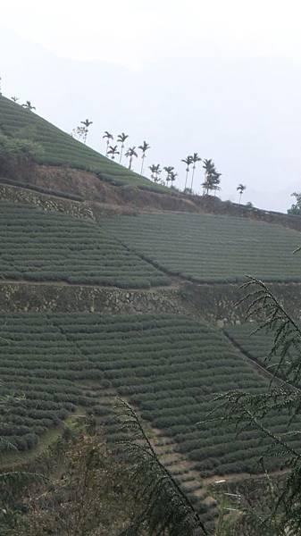 壯觀的茶山.JPG