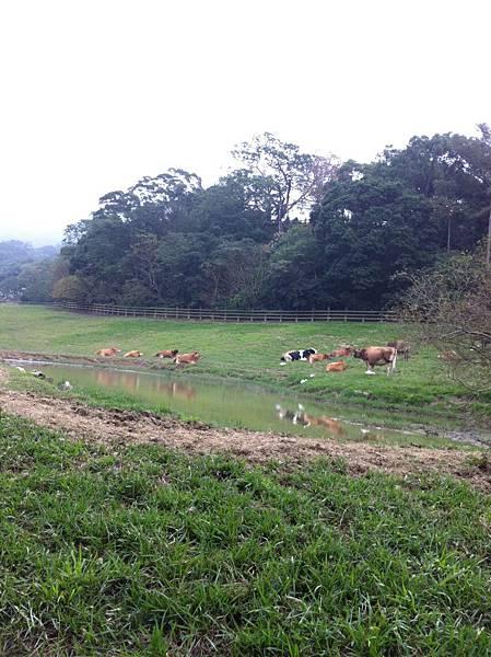 幾隻牛.JPG