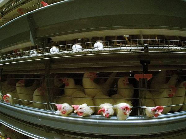 pic07密閉式格子籠飼養蛋雞 (3)