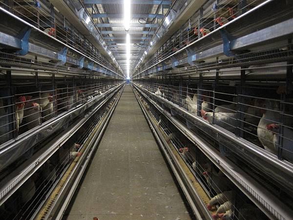 pic08密閉式格子籠飼養蛋雞 (4)