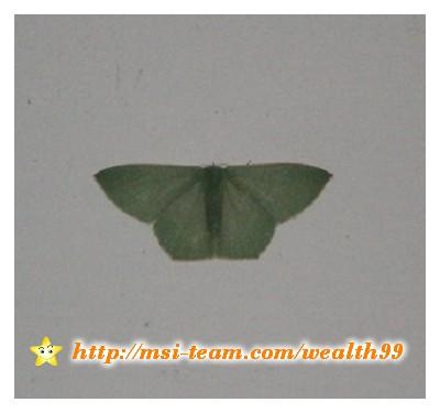 這隻蛾看起來實在很像一件綠色的蓑衣喔