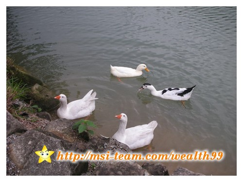 看這兩隻白鵝這麼期盼的樣子,真是好可愛喔。