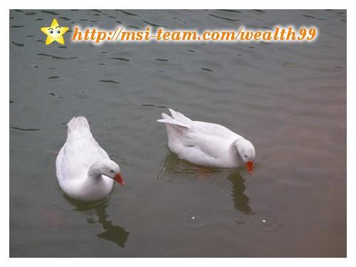 白鵝前面兩個白白的是撕得小小的吐司,兩三下就被吃光了