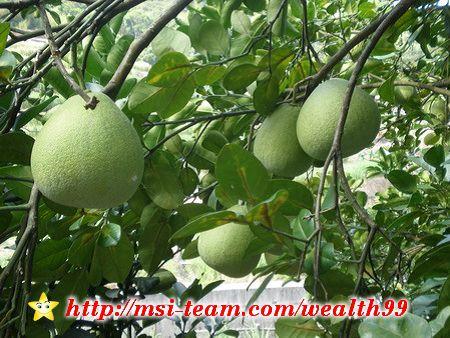 民宿旁邊的路上有兩、三棵結實累累的柚子樹