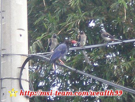 就在二樓的陽台上,看到台灣特有的台灣藍鵲