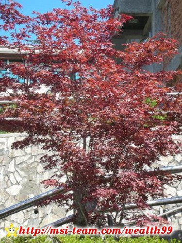 從太平山莊旁邊種滿這種紅葉槭的階梯往上走,就可到達蹦蹦車站
