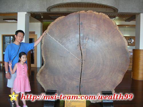 太平山莊大廳裡的台灣衫,樹齡長達705年!