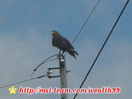 就在附近路邊,居然就看到大冠鷲這樣的猛禽飛來停在電線桿上耶!