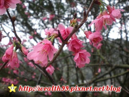 基隆紅淡山的櫻花