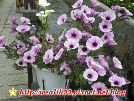 090510竹子湖海芋40(001).jpg
