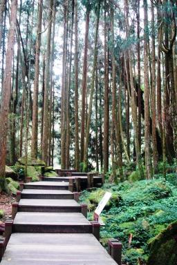 夢幻的巨木群棧道