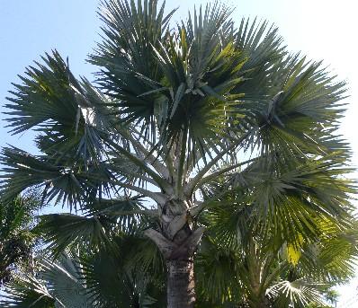 渡假村梠到處都是棕梠樹,散發濃濃的渡假風