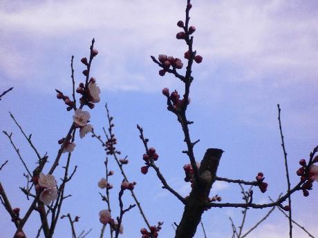 這次旅行,看到很多盛開的梅花